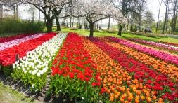 Tulpenblüte im Frühlingsgarten